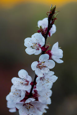 Image of white apricot flowers