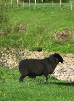 Picture of a dark-coloured sheep in a grassy field next to a stream in a valley
