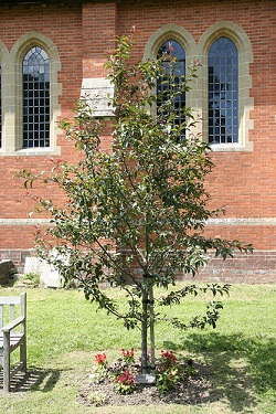 Picture of a crab apple tree with a red-brick church building behind it, planted in memory of Lynn Gilderdale. Today (20th Sept 2011) would be her 34th birthday.