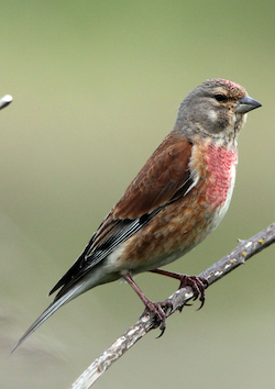A male linnet with brown and red plumage, sitting on a thin tree branch
