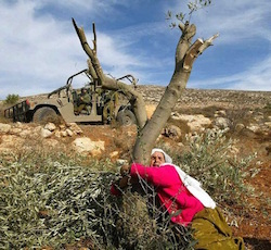 Picture of a Palestinian woman wearing a white scarf and pink jacket clinging to an olive tree, with an Israeli military vehicle behind it