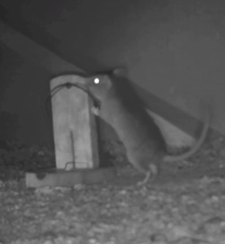 "A greyscale image of a rat with its front paws on the top of a ""tombstone"" shaped rat trap with the kill bar raised, ready to spring down when the rat disturbs the trap."