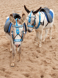 Image of two donkeys, both wearing saddles and a turquoise-coloured harness with the names Dixie and Noddy above their noses, on a sandy beach.