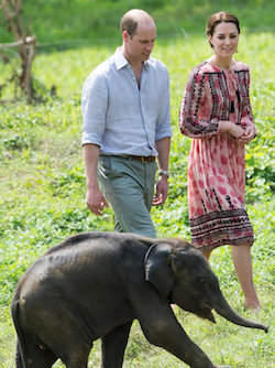 Prince William, a young white man with a head bald in the middle, wearing a light blue open shirt and light green pair of chinos with a brown leather belt, with his wife Kate, a young white woman with brown hair parted in the middle wearing a knee-length two-tone pink smock with black patterning on, walking through grassland with a baby elephant in the foreground